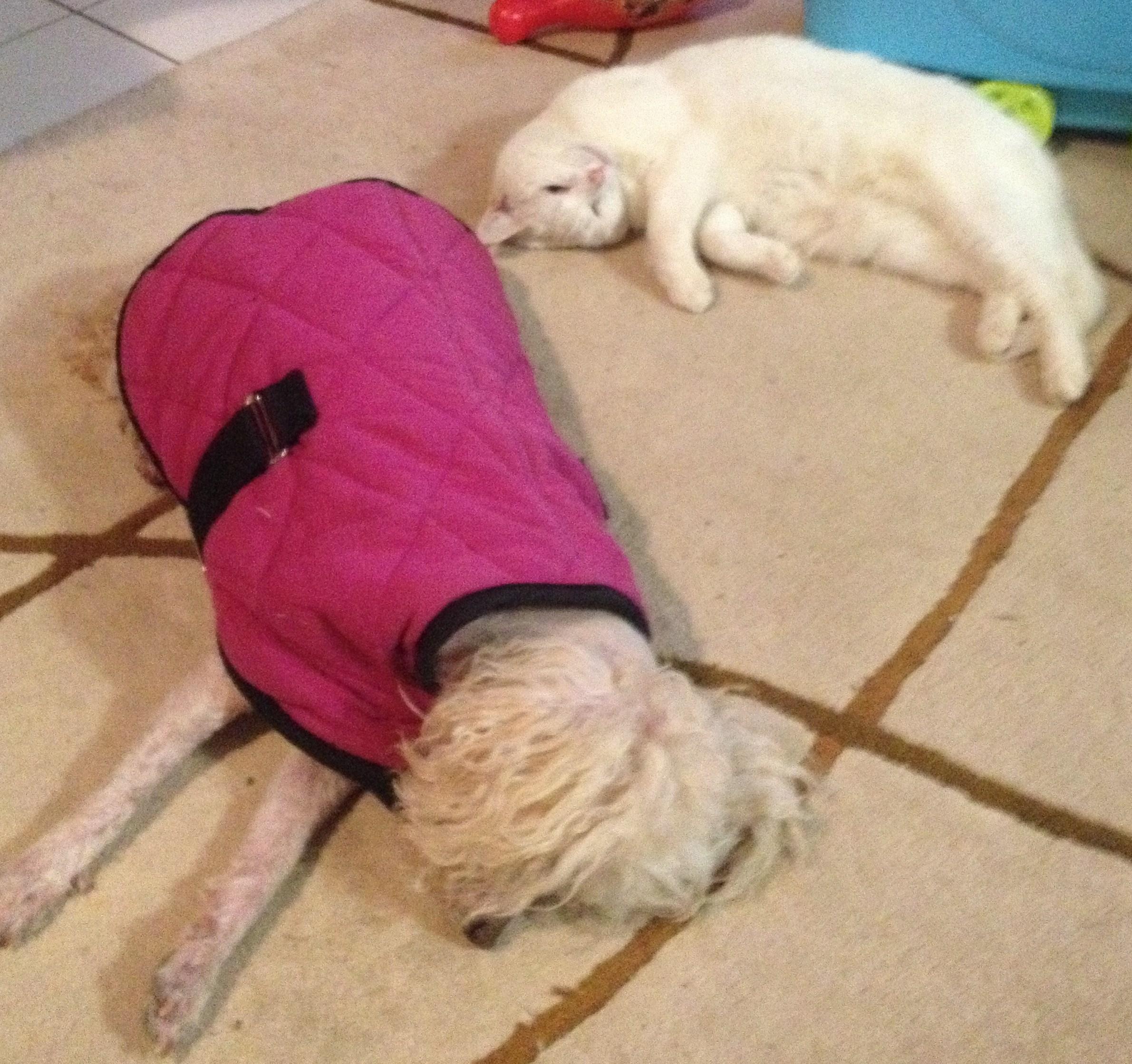 white himalayan kitten